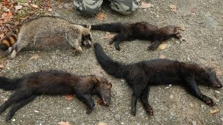 getlinkyoutube.com-Trapping 2016 Highlights - Fisher, Raccoon, Mink, and More [GRAPHIC]