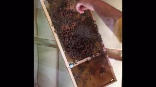 getlinkyoutube.com-Slovenian Carniolan Bees