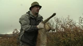 კავკასიური ნაგაზი მგლის წინააღმდეგ. თომა ჩაგელიშვილი. Caucasian sheep-dog vs wolf