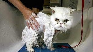 getlinkyoutube.com-Cats can make anyone laugh - Funny cat compilation