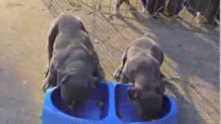 getlinkyoutube.com-BLUE NOSE BULLY PUPPIES 4 WEEKS OLD
