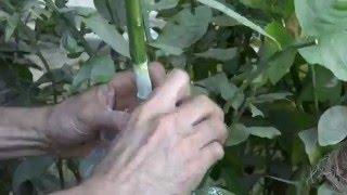 getlinkyoutube.com-Air layering citrus tree(Part-1)الترقيد الهوائي لشجرة الحمضيات ج1
