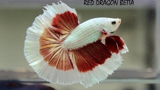 Betta fishes types and their names..