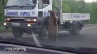 getlinkyoutube.com-man bear-ly escape with his hand intact after foolishly feeding wild animal from car window