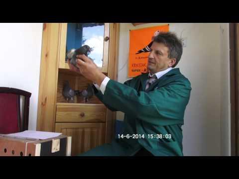 Szybkie gołębie Vervoort na sprzedaż 150 zł/szt Tel.728 465 939