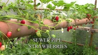 getlinkyoutube.com-Sewer Pipe Strawberries - The Best Place To Grow Them!