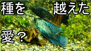 getlinkyoutube.com-【水槽154】種を越えた愛?Green Terror × Acara reproduction