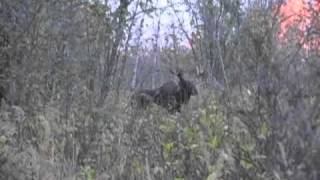 getlinkyoutube.com-Charging Moose!  Hunting In Alberta with Smoky River Outfitting