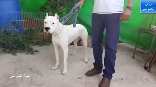 getlinkyoutube.com-سادخل يدي في فك كلب الدوجو ثالث اقوى كلب بالعالم مع جمال العمواسي