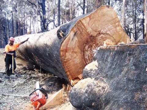 Bush Fires Victoria Australia Big Tree and Tree Felling Take Down by a 3120XP Husky Chainsaw