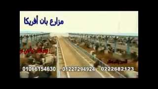 getlinkyoutube.com-مزارع بان أفريكا  | عجول أثيوبي بطعم اللحوم البلدي