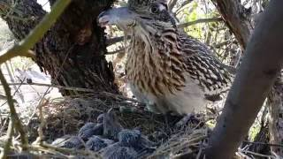 getlinkyoutube.com-Greater Roadrunner feeding newborn huge lizards