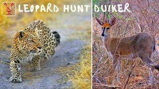getlinkyoutube.com-Leopard hunting a grey duiker