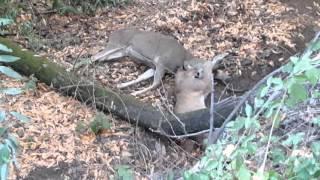 Mountain Lion vs 4 point buck 11/1/2015