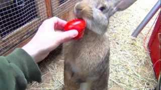 getlinkyoutube.com-Flemish Giant Bunny Rabbit Standing Up, Eating Tomato