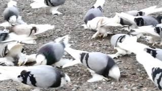 Taklacı güvercin pigeon kabutar