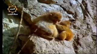 getlinkyoutube.com-شاهد انثى القرد ماذا فعلت بولدها عندما حلق النسر فوقهم