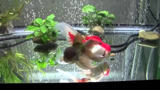 getlinkyoutube.com-Goldfish Care: Filtration Basics Part 1