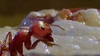 getlinkyoutube.com-Fire ants vs humans - BBC