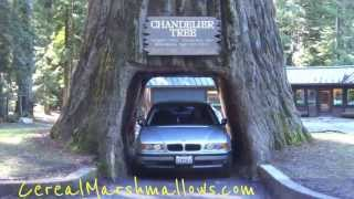 getlinkyoutube.com-Drive-Thru Tree Chandelier Tree World Famous Redwood Forest California National Park Trees Part #2