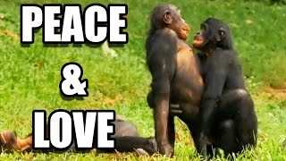 getlinkyoutube.com-Sexe : les bonobos ont-ils tout compris ? - ZAPPING SAUVAGE