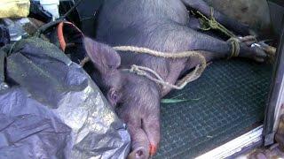 getlinkyoutube.com-Wild Boar Trapped in Simple Hawaiian Snare   Hog Pig Video