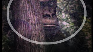12 Foot Giant Ape Discovered. Real Bigfoot?