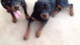getlinkyoutube.com-My Rottweiler Puppies Cassie&Bo Playing  (15-14mos old)