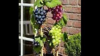 getlinkyoutube.com-Cara Menanam Anggur Dalam Pot Buah Lebat Manis