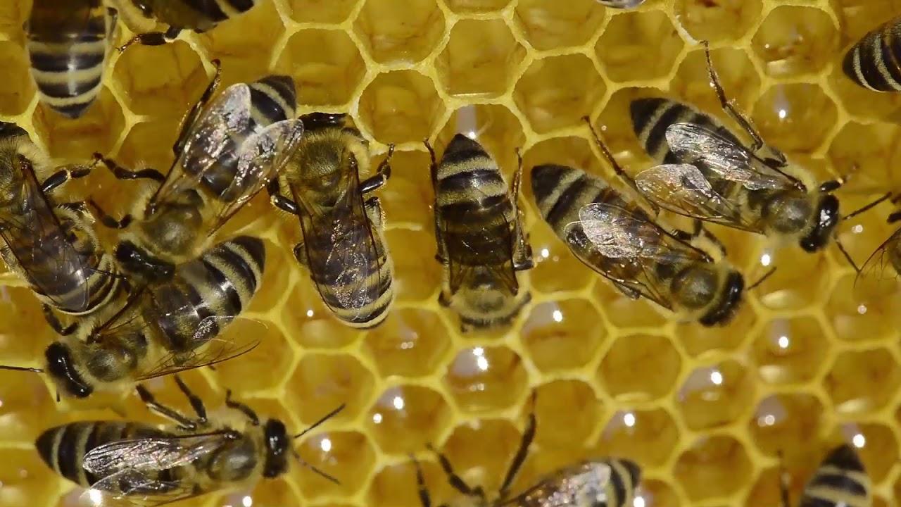 Kako pčele preradjuju nektar u med