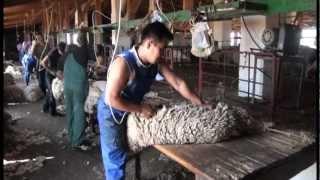 getlinkyoutube.com-Стрижка овец.Скоростные стригали Калмыкии.VOB