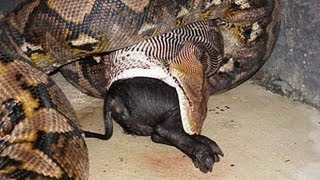 getlinkyoutube.com-The Biggest Snake In the World! (BIGGEST SNAKE IN THE WORLD!)