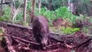 getlinkyoutube.com-イノシシ 捕獲 狩猟 くくり罠 猪 Wild Boar 鹿 2014 11 27
