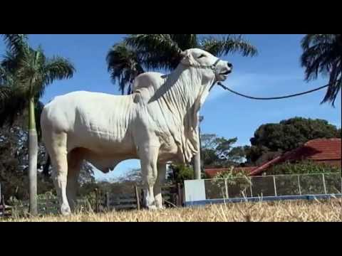 Água Tirada: criação de gado nelore, integração lavoura-pecuária e turismo rural em Maracaju