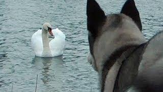 getlinkyoutube.com-Lihkku 4 months old Siberian Husky meet an angry swan