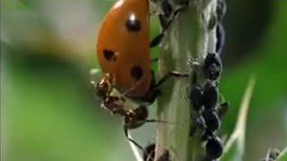 getlinkyoutube.com-Crazy Ant Farmers - Weird Nature - BBC animals