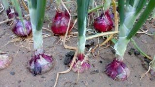 Onion life cycle  (Onion farming at home)