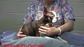 """getlinkyoutube.com-Boston Terrier Dog C-Section Full Procedure """"Kuppi"""""""
