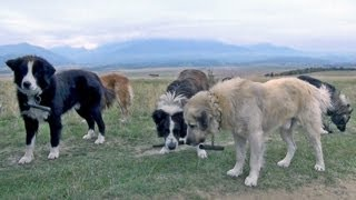 getlinkyoutube.com-A Conversation With Romanian Sheepdogs Guard Dogs - Wolf Killers