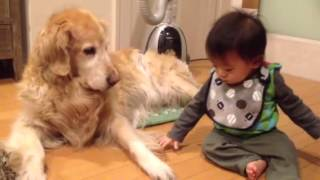 9か月の赤ちゃんとゴールデン