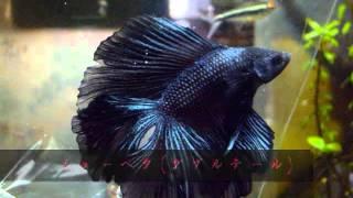 getlinkyoutube.com-アクアリウム 要注意魚種②