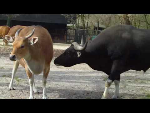 Banteng Bull and Cow -  Tierpark Hellabrunn - Munich Zoo