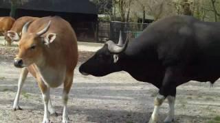 getlinkyoutube.com-Banteng Bull and Cow -  Tierpark Hellabrunn - Munich Zoo