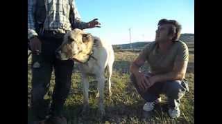 getlinkyoutube.com-kangal samsun arastırmalar....05447143055