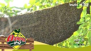 ผึ้งนับร้อย ทำรังบนต้นไทรใหญ่ | ตะลอนข่าว | 12-03-60 | 4/4