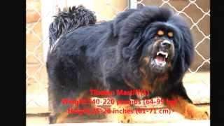 Les 10 plus puisant chien au monde