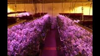getlinkyoutube.com-LED vs 1000W Double-Ended HPS Medical Cannabis Grow Test