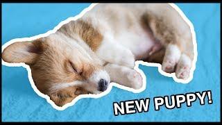 getlinkyoutube.com-I Got A Corgi Puppy! | Vlog