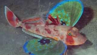 getlinkyoutube.com-Los 10 peces mas extraños del mundo / 10 weirdest fish in the world