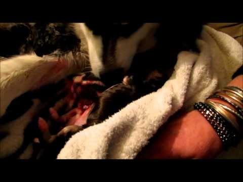 ALASKAN MALAMUTE GIVING BIRTH (VERY GRAPHIC)